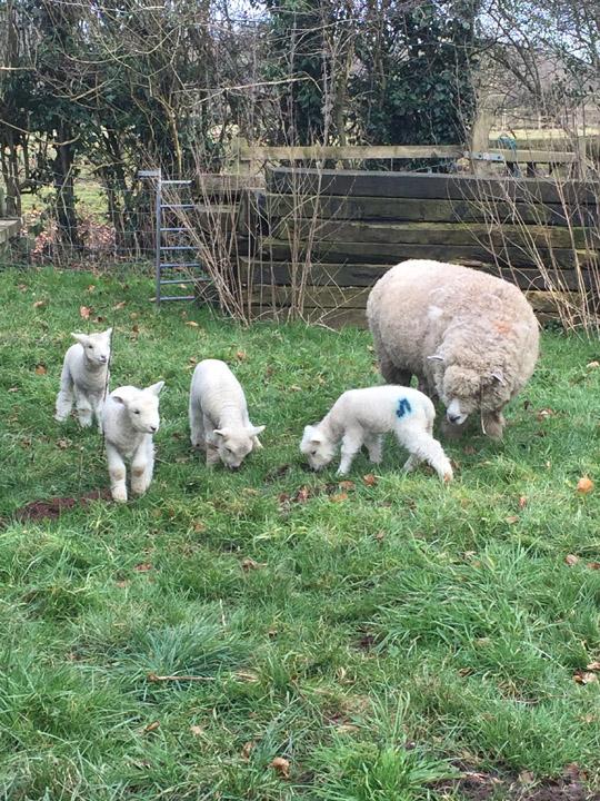 mum n lambs