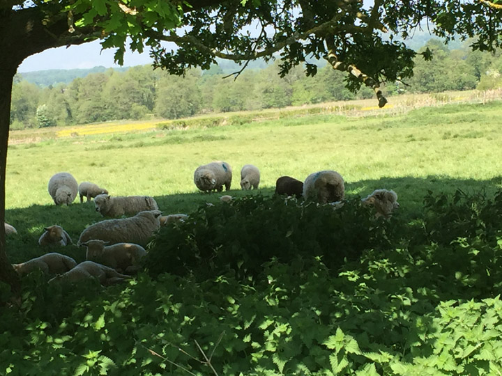 sheep in shade